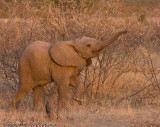 Silly young elephant