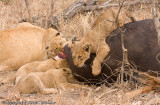 Lion cub climbing on the food