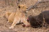 Lioness - Always alert