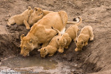 All 6 cubs and Mom having a drink