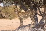 cheetah surveying the land