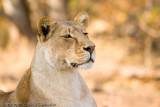 Lioness holding her head in the beautiful lioness pose
