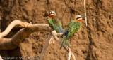 Close up of bee-eaters