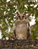 Giant Eagle Owl (with pink eyelids) having a snack.