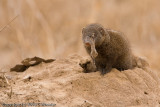 This little dwarf mongoose needs to do a little house keeping