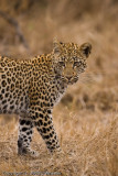 I very young (less than a year) leopard cub is very wary of something