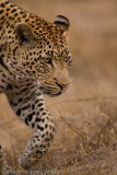 Here's who she is afraid of.  By nature he could kill the female leopard cub but he ignores her.