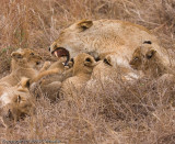 Mom gets a little frustrated with all those cubs.  Don't worry, she doesn't bite them.