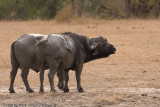 Cape Buffalo smelling the lions