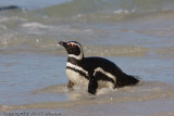 Magellanic Penguin. They burrow and build their nests underground and are very shy.