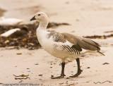 Upland goose