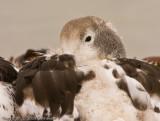 Upland goose closeup