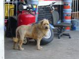 Mexican lion 2.bmp