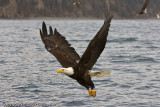 Eagle picking up a fish