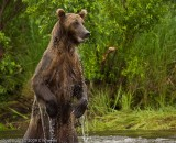 2009_grizzly_bears_alaska