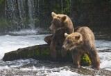BF Young bears watching the older bears catch fish
