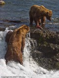 BF Watch this series of bears.  Hmmm, that fish looks good.