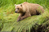The bears wear down the grass where they set up their fishing position.  Look at those claws!