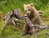 This cub is almost as big as Mom but he's still a kid.