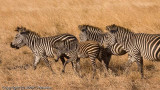 Zebras. The young ones are brown rather than black