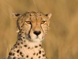 I've wanted a picture of a cheetah with these glowing eyes forever.  Finally got one!