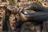 Chimpanzee cleaning his toes