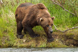 2010_alaska_grizzly_bears