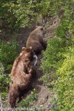 Mama bear and baby bear head up the mountain to eat the fish _H1H1145-1.jpg