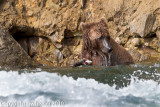 This bear was where there were some pretty strong rapids. _L6H8585-1.jpg
