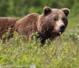 Close up of the larger fighting bear. _L6H8755-1.jpg