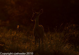 Deer at dusk with dragonfly