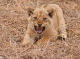 lion cub-2099.jpg