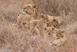 lion cubs-2120.jpg