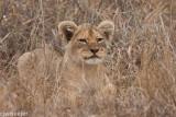 lion cubs-2075.jpg