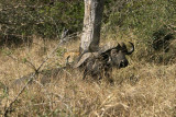 Lion stalking two cape buffalo