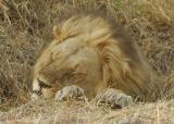 Lion having a cat nap.
