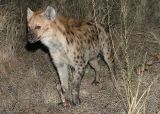 MM The hyena came back, the leopard left. The hyena chewed on the bone awile and left again. The leopard came back... deja vu!