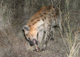 MM This hyena showed up and the leopard left. The hyena chewed on the bone awhile and then left.