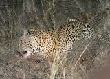 MalaMala. Leopard rubbing on bone