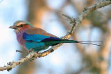 MM Lilac Breasted Roller