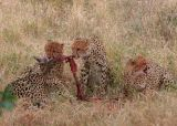 MM Cheetah luncheon - a mom and her 3 cubs