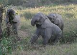 MM These young elephants were playing.