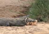 MM This croc ate a whole impala.  Couldn't quite get it all down. Took about 3 days to eat it.