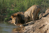 MM Look how fat this lion's stomach is! No wonder he's thirsty.