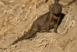MM Dwarf mongoose.  K told the ranger she wanted to take one home. He said - catch one and you can have it.