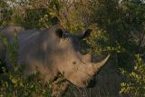MM Rhino