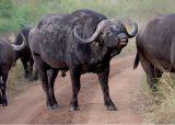 MM Cape Buffalo  New dentures?