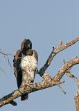 MM Martial Eagle