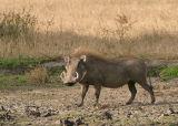 MM Warthog