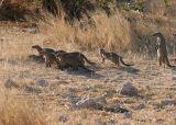Etosha - These mongoose, mongeese, mongooses? were sure watching the jackal.
